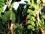Manavgatta Satılık Büyük Tarla ve Muz Serası