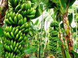 Alanyada Acil Satılık Muz Serası ve Avokado Bahçesi